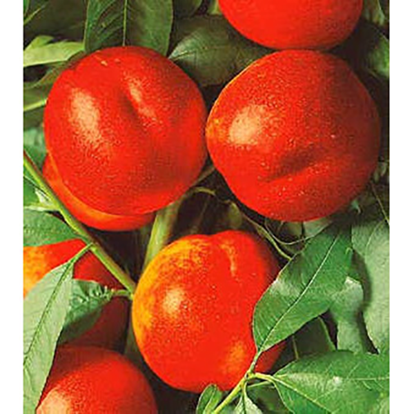 Andosa nektarinka s voľným koreňom